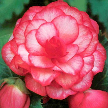 Бегония махровая розовая уход выращивание 48