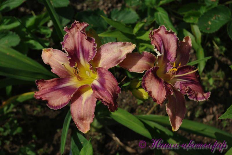 Лилейник 'Милдрейт Митчел' / Hemerocallis 'Mildred Mitchell'