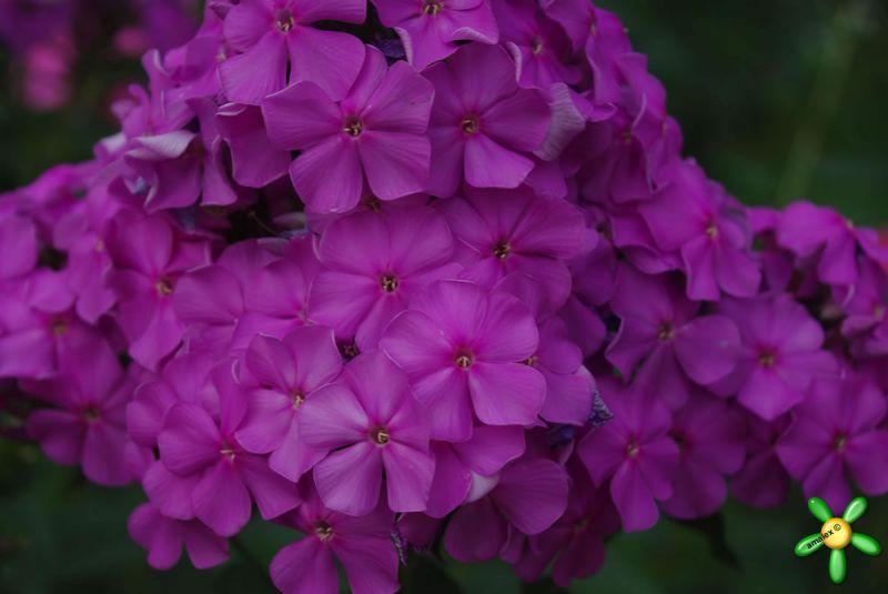 Флокс 'Лилак Стар' / Phlox 'Lilac Star'