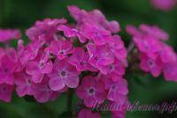Сеянец флокса 'Пчелка Майя' / Phlox Seedling ' Pchelka Maja'